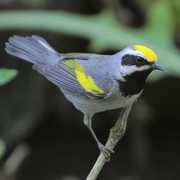 Male. Note: yellow crown and black throat and auriculars.