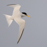 Adult breeding in flight. Note: white forehead, yellow bill with black tip and two black primaries.