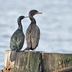 Adult with Double-crested Cormorant for size comparison. Note: thinner neck, dark and thin bill, and long tail. Pelagic Cormorants frequently perch like this (on ledges).