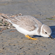 Winter plumage. Note: soft gray plumage, white collar, and yellow legs.