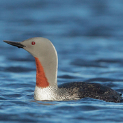 Breeding plumage. Note: gray head and small upturned bill.