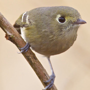 Separated from Ruby-crowned Kinglet by dark legs, thicker and slightly hooked bill, nearly complete eye-ring (only broken on top, kinglets is broken on top and bottom). Kinglets are constantly moving: Hutton's Vireos are more lethargic.