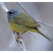 Male. Note: bold white eye arcs and black lores.