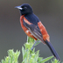 Male. Note: dark rufous body.
