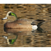 Image for the American Wigeon