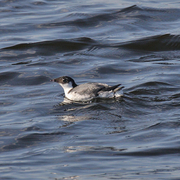 Image for the Ancient Murrelet