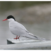 Image for the Arctic Tern