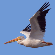 Image for the American White Pelican