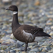 Image for the Brant