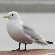 Image for the Black-legged Kittiwake