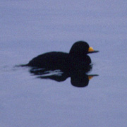 Image for the Black Scoter