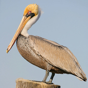 Image for the Brown Pelican