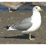 Image for the California Gull