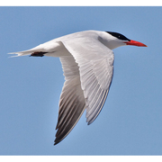 Image for the Caspian Tern