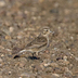 Female. Note: cold gray tones, small gray bill, and dark rear auriculars.
