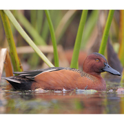 Image for the Cinnamon Teal