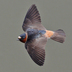 Adult in flight. Note: pale rump.