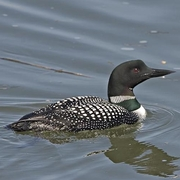 Image for the Common Loon
