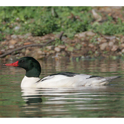 Image for the Common Merganser