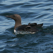 Image for the Common Murre