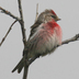 Male. Note: extensive pink on breast.