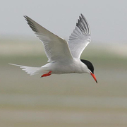 Image for the Common Tern