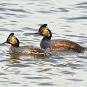 Image for the Eared Grebe