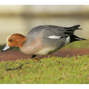 Image for the Eurasian Wigeon