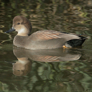 Image for the Gadwall