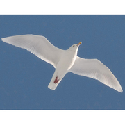 Image for the Glaucous Gull