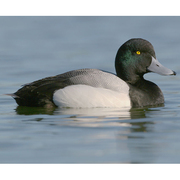 Image for the Greater Scaup