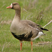 Image for the Greater White-fronted Goose
