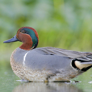 Image for the Green-winged Teal