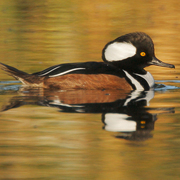 Image for the Hooded Merganser
