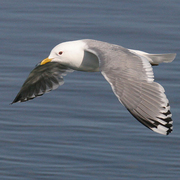 Image for the Mew Gull