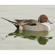 Image for the Northern Pintail