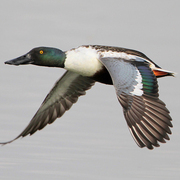 Image for the Northern Shoveler