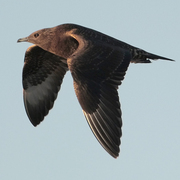 Image for the Parasitic Jaeger