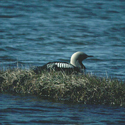 Image for the Pacific Loon