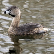 Image for the Pied-billed Grebe
