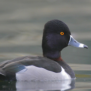 Image for the Ring-necked Duck