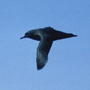 Image for the Sooty Shearwater