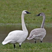 Image for the Trumpeter Swan