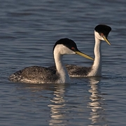 Image for the Western Grebe