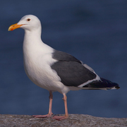Image for the Western Gull