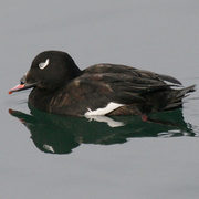 Image for the White-winged Scoter
