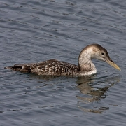 Image for the Yellow-billed Loon