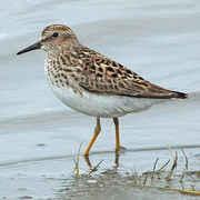 Note yellow legs, shorter bill, and brownish back.