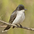 Note: dark head, white throat/breast/belly, and white-tipped tail.