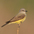 Note: shorter bill, shorter tail and longer wings (compared to Tropical Kingbird)